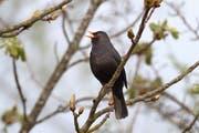 In neun von zehn Schweizer Gärten singt eine Amsel wie die Zählung von BirdLife Schweiz zeigt, ist die Amsel der am häufigsten beobachtete Vogel.