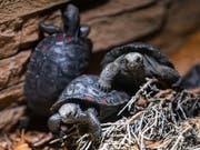 101 Mal Nachwuchs: Ende April ist im Zürcher Zoo die 101. kleine Galapagos-Riesenschildkröte geschlüpft. (Bild: KEYSTONE/PATRICK HUERLIMANN)