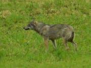"""Das """"hundeähnliche Tier"""", das eine Privatperson in Horgen am Montag fotografiert hat, war zweifelsfrei ein Wolf: Dies haben Fachleute nach einer Prüfung des Bildes festgestellt. (Bild: Baudirektion Zürich)"""