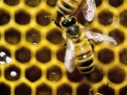 Die umstrittenen Neonicotinoide Clothianidin, Thiamethoxam und Imidacloprid sind für Bienen gefährlich. Das Gericht der Europäischen Union in Luxemburg hat am Donnerstag entschieden, dass die Insektizide weiter Beschränkungen beim Einsatz unterliegen. (Bild: Keystone/FR155085 AP/ANDY DUBACK)