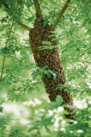 Hier wurde ein Ast eines Aprikosenbaumes von einem Bienenvolk in Beschlag genommen. (Bild: Heidy Beyeler)