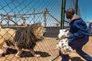 Ein Tierpfleger füttert einen Löwen in einer Zuchtstation im südafrikanischen Wolmaransstad. (Bild: Brent Stirton/Getty)