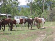 Die Brumbies sind eine verwilderte Pferderasse - und diese liegt den Bewohnern von New South Wales sehr am Herzen. (Bild: Wikimedia/Rob and Stephanie Levy)