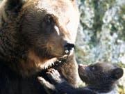 Eine Bärenmutter mit ihrem Jungen: Nicht immer ist das Zusammenleben so friedlich. Im Jurapark bei Vallorbe VD hat eine Bärenmutter ihr Junges getötet. (Bild: KEYSTONE/LAURENT GILLIERON)
