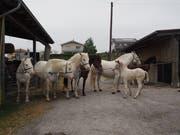 Eine Pferdefamilie, von links: die «berühmte» Lobelia mit ihren Nachkommen Lara, Lucy, Livi und Leila sowie dem Nachkommen in zweiter Generation Lenka. (Bild: Angelina Donati)