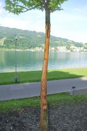 Der beschädigte Baum (Bild: Luzerner Polizei)