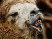 Neben Hunden und Katzen werden in der Schweiz auch exotischere Tiere wie Kamele und Giraffen als Heimtiere gehalten, wie ein Blick in die einschlägigen Datenbanken zeigt. (Bild: KEYSTONE/STEFFEN SCHMIDT)