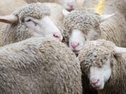 Bei einer nächtlichen Jagd auf Wildschweine verloren vier Schafe und drei Lämmer das Leben. Die Staatsanwaltschaft Bischofszell erhob Strafbefehl gegen den Jäger. (Bild: ARCHIV KEYSTONE/GIAN EHRENZELLER)