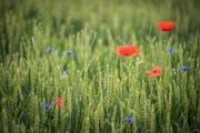 Ein Weizenfeld mit Ackerbegleitflora in Märstetten. (Bild: Reto Martin)
