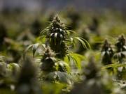 Bauern sollen künftig Cannabis zu medizinischen Zwecken anbauen und exportieren dürfen. Das will der Bundesrat. (Bild: KEYSTONE/AP/JAE C. HONG)