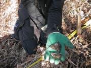 Die ersten im Boden vergrabenen Teebeutel werden nach drei Monaten sorgfältig geborgen und danach im Labor analysiert. Weitere Teebeutel bleiben noch bis zu 36 Monate im Boden. (Bild: WSL/Flurin Sutter)