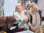 Die drei jungen sibirischen Tiger werden einen Monat nach ihrer Geburt im Walter-Zoo Gossau SG einem Gesundheits-Check unterzogen. (Bild: Keystone/Evelyne Eichenberger)
