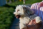 Ein Malteser Hund wird auf dem Arm einer Frau getragen. (Symbolbild)