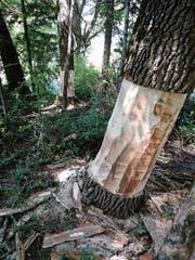 Ungefähr 40 Bäume entlang der Simmi werden im Zuge der Renaturierung geringelt und gefällt. (Bild: PD)