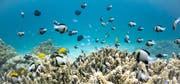 Ein bisschen blass: Dieses flache Korallenriff zeigt typische Spuren von Stress. (Bild: Getty)