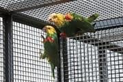 Zwei Doppelkopf-Amazonen-Papageien versuchen sich in der Zuger Voliere einen Platz in der ersten Reihe zu erkämpfen. (Bild: Roger Zbinden, Zug, 26. Mai 2018)