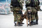 Der Armeehund, der am CSIO vor einem Jahr ein Mädchen attackiert hatte, wurde eingeschläfert. (Bild: Symbolbild: Gian Ehrenzeller/Keystone)
