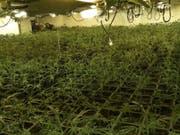 In mehreren gemieteten Einfamilienhäusern pflanzte in Österreich eine Drogenbande im grossen Stil Marihuana an. (Bild: KEYSTONE/EPA Spanish National Police/HANDOUT)