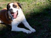 Auch Halter von grösseren Hunden müssen im Kanton Zürich künftig keine obligatorischen Kurse mehr absolvieren. Der Kantonsrat lockerte am Montag das kantonale Hundegesetz. (Bild: KEYSTONE/JEAN-CHRISTOPHE BOTT)