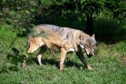 Ein Wolf im Tierpark Goldau. (Bild: Remo Nägeli (Goldau, 7. Oktober 2008))