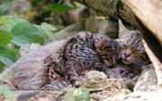 Eine junge Wildkatze auf Schmusekurs. Bild: Natur- und Tierpark Goldau