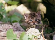 Eine der vier jungen Wildkatzen erkundet sein Gehege. Bild: Natur- und Tierpark Goldau