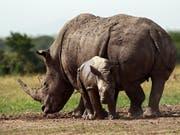 Fast fünf Jahrzehnte nach dem Aussterben des letzten Nashorns im Tschad soll der Bestand in dem Land neu aufgebaut werden. (Bild: KEYSTONE/EPA/DANIEL IRUNGU)