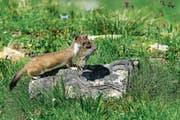 Ein Wiesel (Bild) frisst pro Tag ein bis zwei Mäuse. (Bild: Getty)