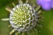 Glänzende Skabiose. Über 650 Blumen- und Gräserarten wachsen im Säntisgebiet.