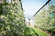 Die Obstplantagen beim Schul- und Versuchsbetrieb Obst- und Beerrenbau in Güttingen. (Bild: Ralph Ribi)