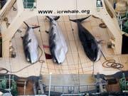 Drei Zwergwale an Bord eines japanischen Walfangschiffes. (Bild: KEYSTONE/EPA/TIM WATTERS / SEA SHEPHERD AUSTR)