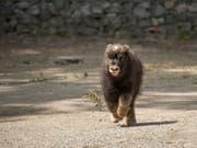 Der kleine Moschusochse im Berner Tierpark Dählhölzli ist auf Trab und entdeckt seine Umgebung. (Bild: Berner Tierpark Dählhölzli)