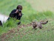 Wieder frei nach mehrmonatiger Pflege: Mit einem GPS-Sender versehen rennt die Wildkatze in den nahe gelegenen Wald. (Bild: Laurent Geslin)