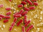 Ehec-Erreger auf Salatblättern haben in den USA bereits 120 Personen infiziert. (Bild: KEYSTONE/AP dapd/MANFRED ROHDE/HELMHOLTZ-ZENTRUM)