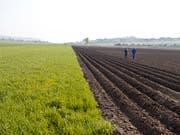 Wo sich im Gemüsebau das eingeschleppte Unkraut Erdmandelgras ausbreitet, können grosse Schäden auftreten. So kann es beispielsweise bei Kartoffeln zu Ernteausfällen von bis zu 40 Prozent und bei Zuckerrüben sogar bis zu 60 Prozent kommen. (Bild: KEYSTONE/GAETAN BALLY)