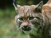 Der kanadische Luchs zählt zu den Raubtieren mit der ausgeprägtesten Saisonalität bei der Fortpflanzung. (Bild: Tierpark Zürich)