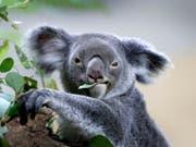 Ein Koala kaut auf einem Eukalyptusblatt herum. Ein millionenschweres Programm soll die bedrohten Bären in Australien besser schützen. (Bild: Keystone/AP/WONG MAYE-E)