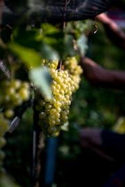 Auf dem Weingut in Iselisberg im Thurgau werden rund 40 verschiedene Weine kreiert und verkauft. (Bild: Mareycke Frehner)