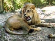 Ein afrikanischer Löwe in einem Zoo - zwei seiner Art, zwei Tiger, ein Jaguar und eine Bär sind aus einem deutschen Zoo ausgebrochen. (Bild: Keystone/AP The Daily Advertiser/PAUL KIEU)