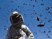 """Die angriffslustigen """"Killerbienen"""" entstehen aus einer Kreuzung von Honigbienen europäischer Abstammung mit Wildbienen afrikanischen Ursprungs. (Bild: KEYSTONE/EPA/ALI ALI)"""