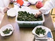 Der Nationalrat will keinen Experimentierartikel für Versuche mit Cannabis. Dieser sollte wissenschaftliche Projekte und Versuche mit neuen Regeln für den Freizeitkonsum von Cannabis ermöglichen. (Bild: KEYSTONE/CHRISTIAN BEUTLER)
