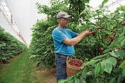 Kurz vor dem Grosseinsatz auf der Chriesi-Plantage: Obstbauer Christian Steiger. (Bild: Dominik Wunderli (Büron, 11. Juni 2018))