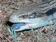 Wenn sie angegriffen werden, blähen sie sich auf, reissen das Maul auf und zeigen die Zunge: Blauzungen Skinke. (Bild: Ian R McCann/Museums Victoria)