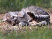 Unter der Annahme, dass ein Katzenpaar zwei Mal pro Jahr Nachwuchs erhält und jeweils 2,8 Kätzchen pro Wurf überleben, ergibt sich nach zehn Jahren ein Katzenbestand von über 80 Millionen Tieren. Deshalb sollten streunende Katzen kastriert werden. (Bild: KEYSTONE/AP/MICHAEL PROBST)
