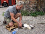 Spezialist Daniel Schedler beim Beringen eines Storchs. (Bild: Andreas Taverner)