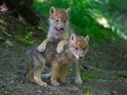 Im Zoo beliebt, in der Wildnis gefürchtet: Der Ständerat will den Wolfsschutz lockern und das Raubtier auch in Schutzgebieten ins Visier nehmen. (Bild: KEYSTONE/ZOO ZUERICH/PETER BOLLIGER)