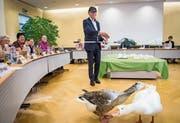 Der neue Gemeinderatspräsident Elmar Raschle fängt die zwei Gänse Hans und Gertrud im Rathaussaal ein. (Bild: Reto Martin)