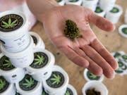 Legaler Hanf hat einen THC-Gehalt unter einem Prozent. (Bild: KEYSTONE/JEAN-CHRISTOPHE BOTT)