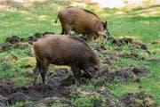 So entsteht Landschaden: Wildschweine pflügen den Boden um. (Bild: Fotolia)