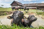 Die Wasserbüffel fressen das Schilf ab, damit der Weiher nicht zuwuchert.(Bild: Michel Canonica)